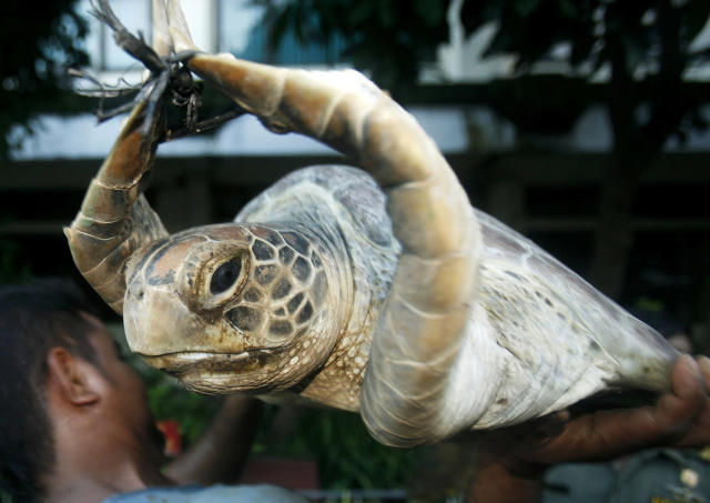 <p>A worker holds a green turtle (Chelonia mydas) after unloading it from a truck in Denpasar, capital city of the province of Bali, May 19, 2010. Police said on Tuesday they foiled an attempt to smuggle 71 green turtles for food. The turtles, caught in the waters off Sulawesi Island, have an average weight of 100 kilograms (220 pounds). (Photo: Murdani Usman/Reuters) </p>