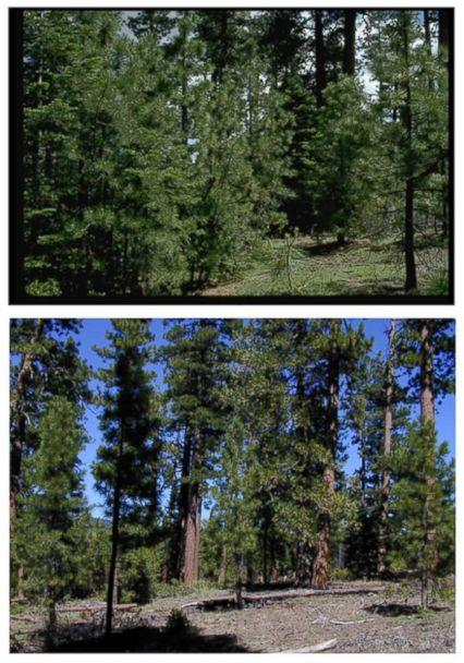 PHOTO: A Forest Service photo shows an area of ponderosa pines before and after the process of removing potential fuel for wildfires. (Courtesy U.S. Forest Service)