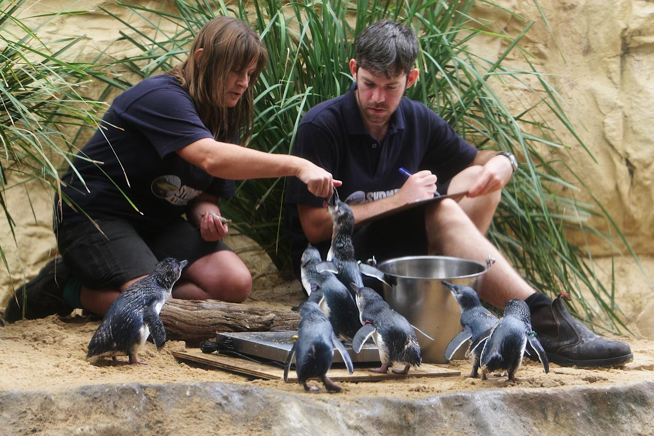 SYDNEY, AUSTRALIA - JANUARY 18:  Sydney Aquarium staff Martin Garwood and Libby Eyre feed baby penguins following their release on January 18, 2012 in Sydney, Australia. Three baby penguins were released into the aquarium and reunited with their parents for the first time since birth.  (Photo by Lisa Maree Williams/Getty Images)