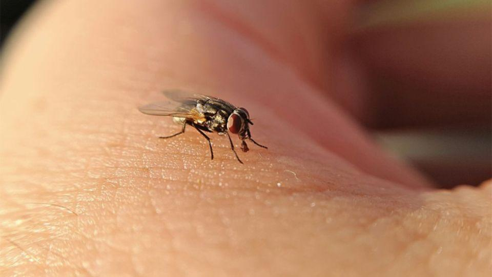 Flies pick up bacteria from faeces and decaying matter and use it to nurture their young – also transmitting it to humans. Photo: Getty