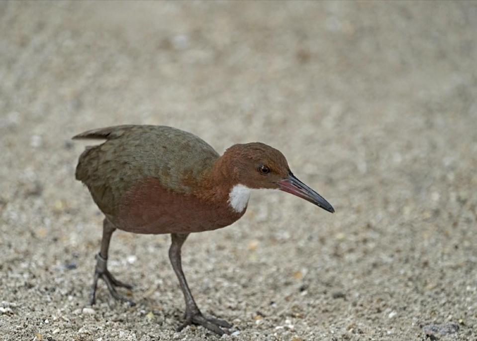 "The Aldabra white-throated rail may not be a very well known bird, but it's certainly a remarkable one. The flightless creature first found itself in trouble around 136,000 years ago when it went extinct—something it's done twice. However, a 2019 study published in the <em>Zoological Journal of the Linnean Society</em> explained that ""the rail is an example of a rarely observed phenomenon called <a href=""https://academic.oup.com/zoolinnean/article/186/3/666/5487031"" rel=""nofollow noopener"" target=""_blank"" data-ylk=""slk:iterative evolution"" class=""link rapid-noclick-resp"">iterative evolution</a>, in which the same ancestral lineage produces parallel offshoot species at different points in time."" Because of this, it's been able to rally and ""evolve"" back into existence both times it was essentially wiped out."