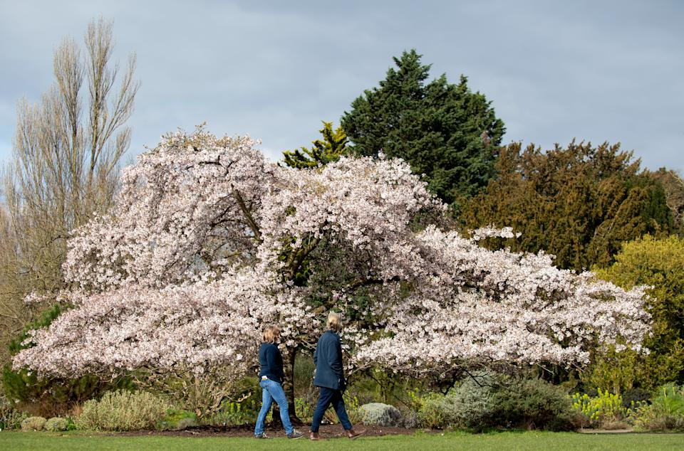 A Yoshino cherry tree bursts into flower at Cambridge University Botanic Garden in Cambridge, which remains open with pre-booked admission tickets for the local community to enjoy walking and wellbeing during the Coronavirus lockdown. Picture date: Tuesday March 23, 2021.