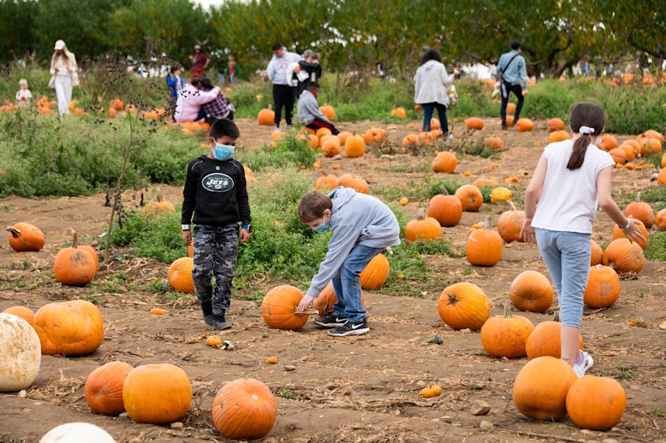Children wear face masks while picking pumpkins at Alstede Farms on October 24, 2020 in Chester Township, New Jersey. Many Halloween events have been canceled or adjusted with additional safety measures due to the ongoing coronavirus pandemic. (Photo by Noam Galai/Getty Images)