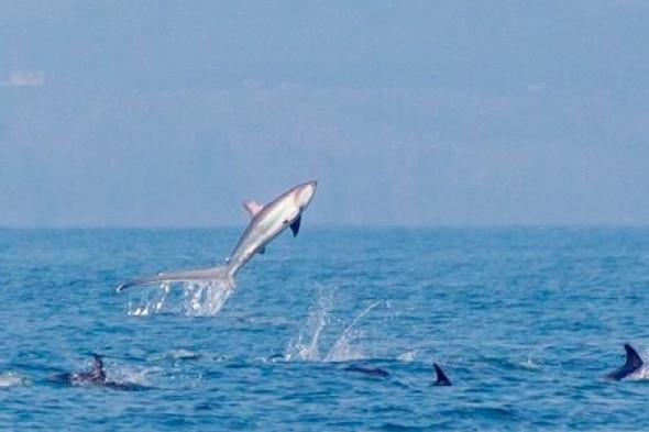 Rare sighting of 13ft shark leaping from sea in Wales