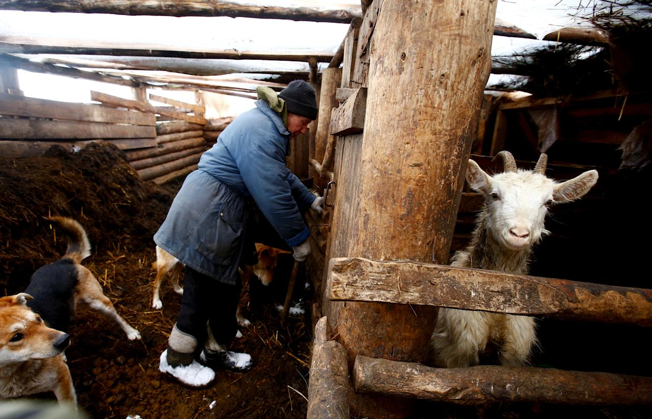 "Yuri Baikov, 69, checks on goats at his small farm situated in a forest near the village of Yukhovichi, Belarus, February 7, 2018. Yuri and his wife have lived for more than a quarter of a century in a primitive hut in a forest. They used to live in Yukhovichi, nearest village, as farmers, keeping cows and poultry. But dwelling near other people did not suit them. ""We cannot leave our animals and birds even for a day - and we don't want to,"" Yuri said. REUTERS/Vasily Fedosenko     SEARCH ""BELARUS FARM"" FOR THIS STORY. SEARCH ""WIDER IMAGE"" FOR ALL STORIES."