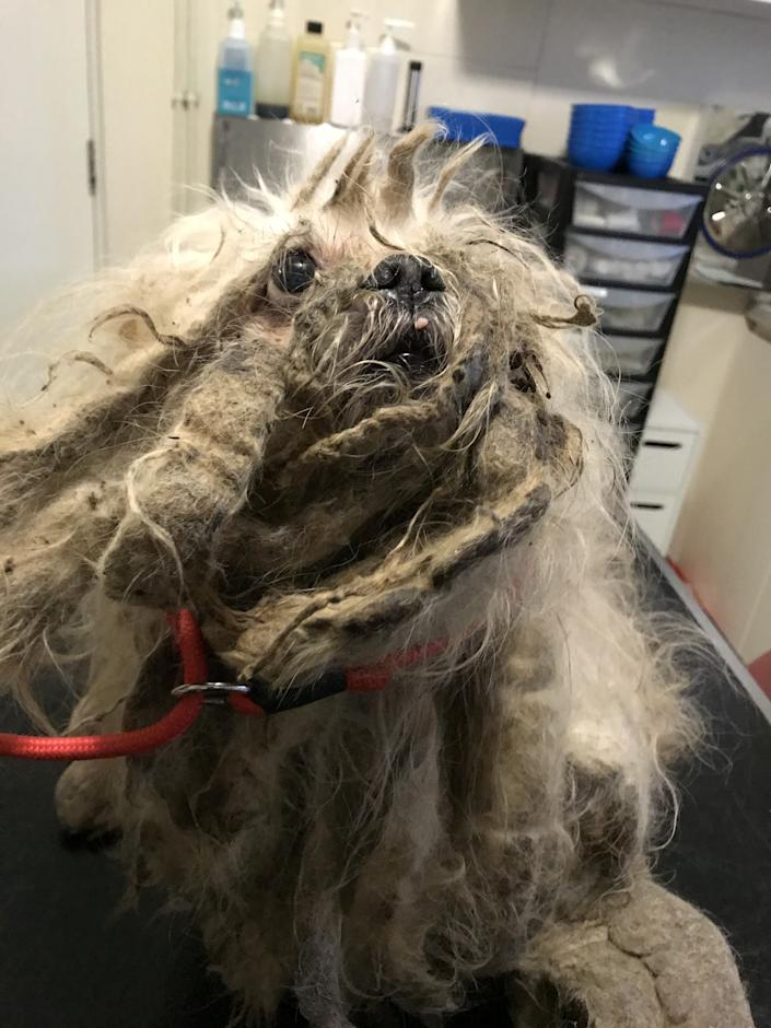 The dog had over a kilogram of matted fur cut from his body, the RSPCA say he had been neglected for months before being abandoned