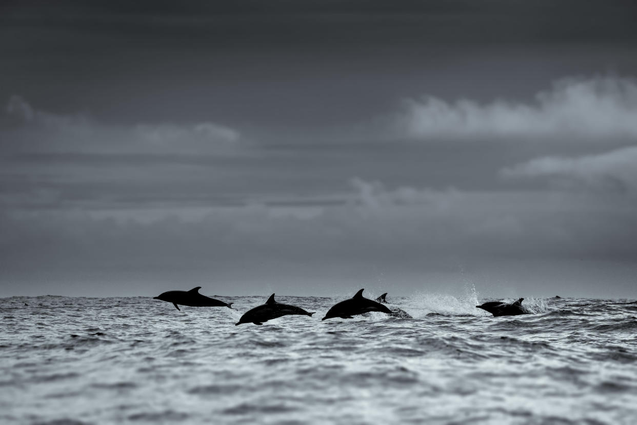 A pod of dolphins off the coast of Dingle, Co Kerry, Ireland. (Getty)