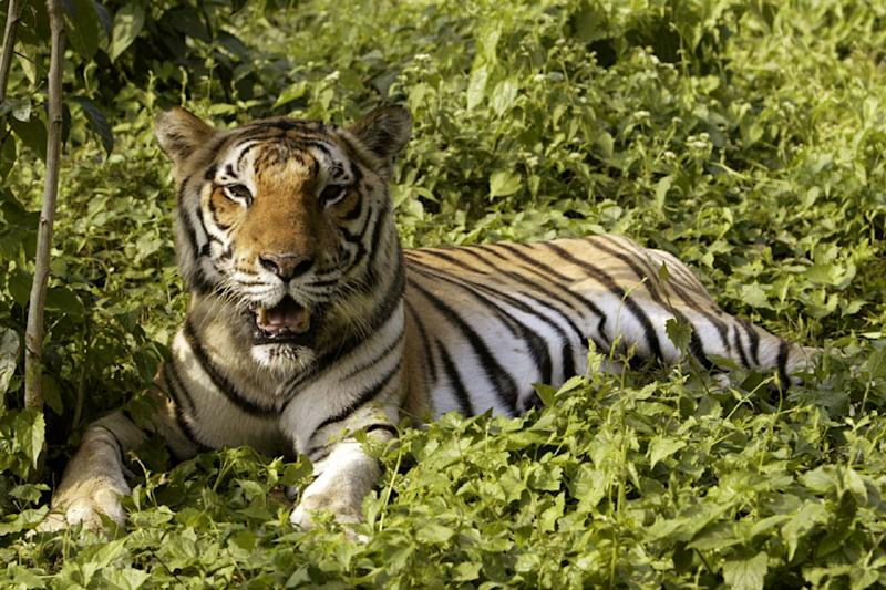 Given the declining tiger population and Gujarat's refusal to share its Asiatic lions, Madhya Pradesh, once known as the 'tiger state' of India, is fast losing out on earnings via wildlife tourism.