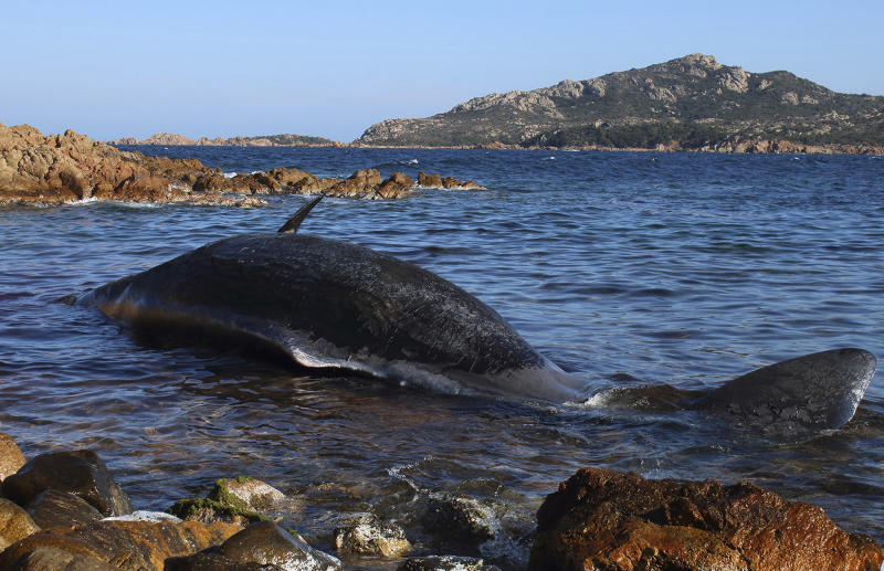 In this photo taken on Thursday, March 28, 2019 and provided by SEAME Sardinia Onlus, a dead whale lies in the water in Porto Cervo, Sardinia island, Italy. The World Wildlife Foundation is sounding the alarm over plastics in the Mediterranean Sea after an 8-meter-long sperm whale was found dead off Sardinia with 22 kilograms (48.5 pounds) of plastic found in its belly. The environmental organization said Monday that the garbage recovered in the sperm whale's stomach included a corrugated tube for electrical works, plastic plates, shopping bags, tangled fishing lines and a washing detergent package with the brand and bar code still legible. The female whale beached off the northern coast of Sardinia last week. (SEAME Sardinia Onlus via AP)