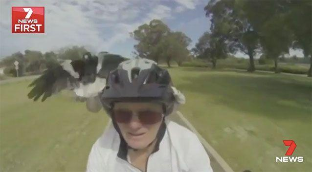 It's the middle of magpie season in Perth, with swoops common right through until October. Source: 7 News