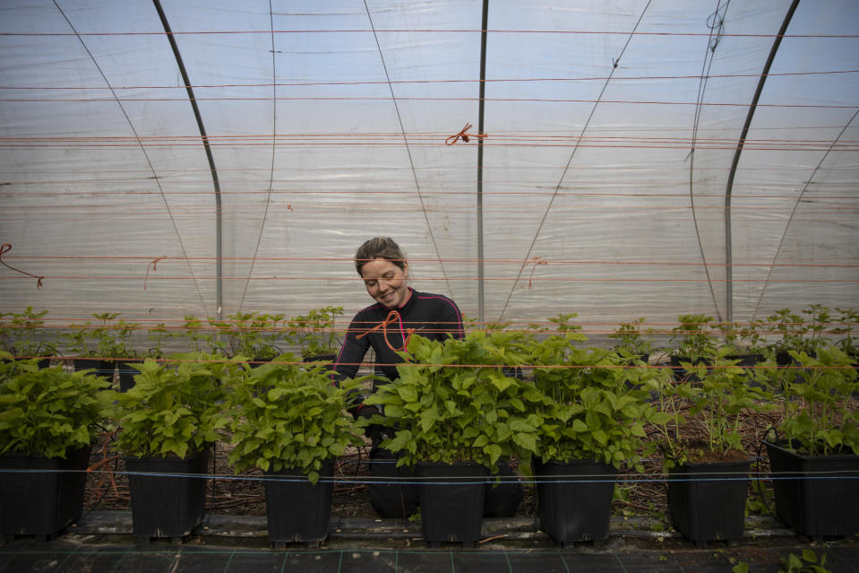 ROCHESTER, KENT - MARCH 31: Seasonal worker Anna Maria from Romania, tends to raspberries inside a Polytunnel ahead of the fruit picking season at a farm on March 31, 2020 in Rochester, Kent. Concerns over the short supply of seasonal workers are growing with an estimated 90,000 positions needed to be filled. The charity 'Concordia' has warned the government that unless people can be brought in to pick fruit and vegetables, much of that produce will simply rot away. Many of the eastern European countries that usually supply the demand for workers, such as Bulgaria, are currently on lockdown. The Coronavirus (COVID-19) pandemic has spread to many countries across the world, claiming over 30,000 lives and infecting hundreds of thousands more. (Photo by Dan Kitwood/Getty Images) (Photo by Dan Kitwood/Getty Images)