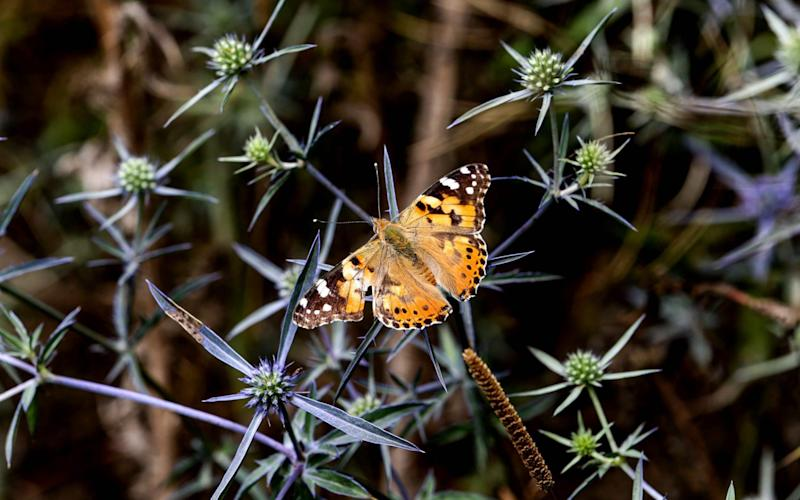 Painted Lady butterflies migrate from tropical Africa to the Article Circle every year. - AFP