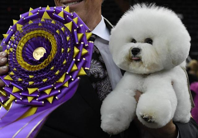 """Flynn"" the Bichon Frise, with handler Bill McFadden, poses after winning ""Best in Show"" at the Westminster Kennel Club 142nd Annual Dog Show in Madison Square Garden in New York (AFP Photo/TIMOTHY A. CLARY)"