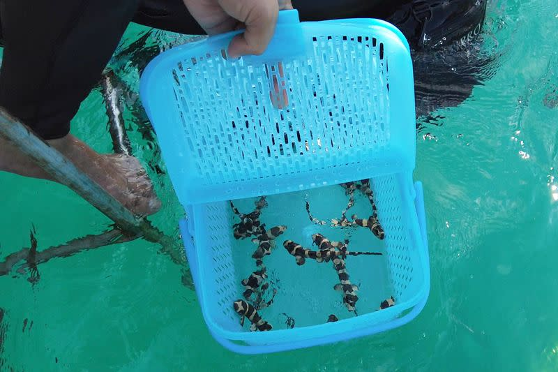 A conservationist holds brownbanded bamboo sharks before they are released into the sea