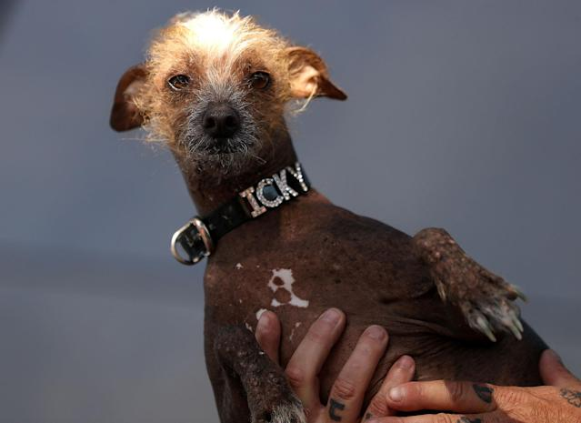 <p>A mixed breed dog named Icky looks on during the 2017 World's Ugliest Dog contest at the Sonoma-Marin Fair on June 23, 2017 in Petaluma, Calif. (Photo: Justin Sullivan/Getty Images) </p>
