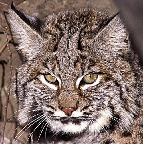 Largely unseen, the secretive bobcat is in fact our next-door neighbor.
