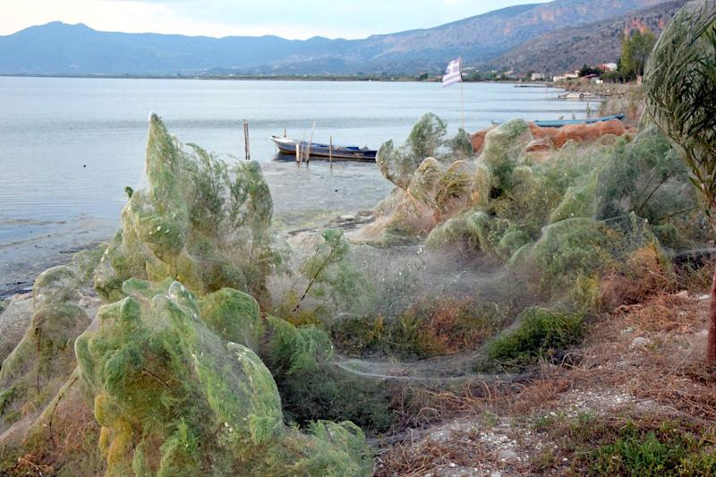 The lagoon in Aitoliko, Western Greece, is now shrouded in webs, burying vegetation in a mass of spider silk, filled with mating spiders and their young. Source: Facebook/ Giannis Giannakopoulos