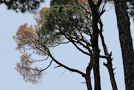 A dead pine tree is pictured among healthy ones in Lebanon's Bkassine pine trees forest south of Beirut