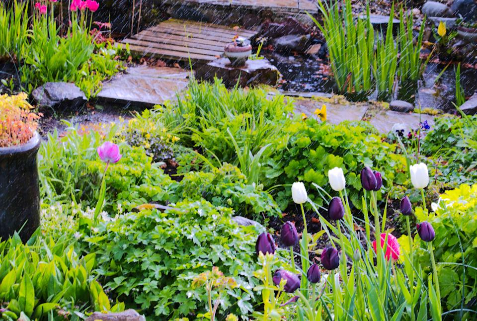 Image of a Scottish country garden full of spring flowering bulbs including tulips and daffodils seen in a shower of rain