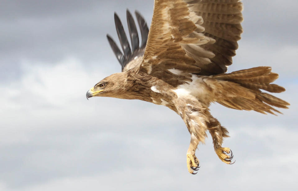 This 2018 photo provided by Evan R. Buechley shows a Tawny Eagle in Ethiopia. The tawny eagle is considered vulnerable to extinction by scientists. The destruction of forests and grasslands in Africa and South Asia are shrinking its habitat. Globally the top threats to birds of prey are habitat loss, climate change and toxins in the environment. (Evan R. Buechley via AP)