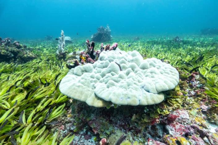 Corals are seen in a seagrass meadow at the Saya de Malha Bank