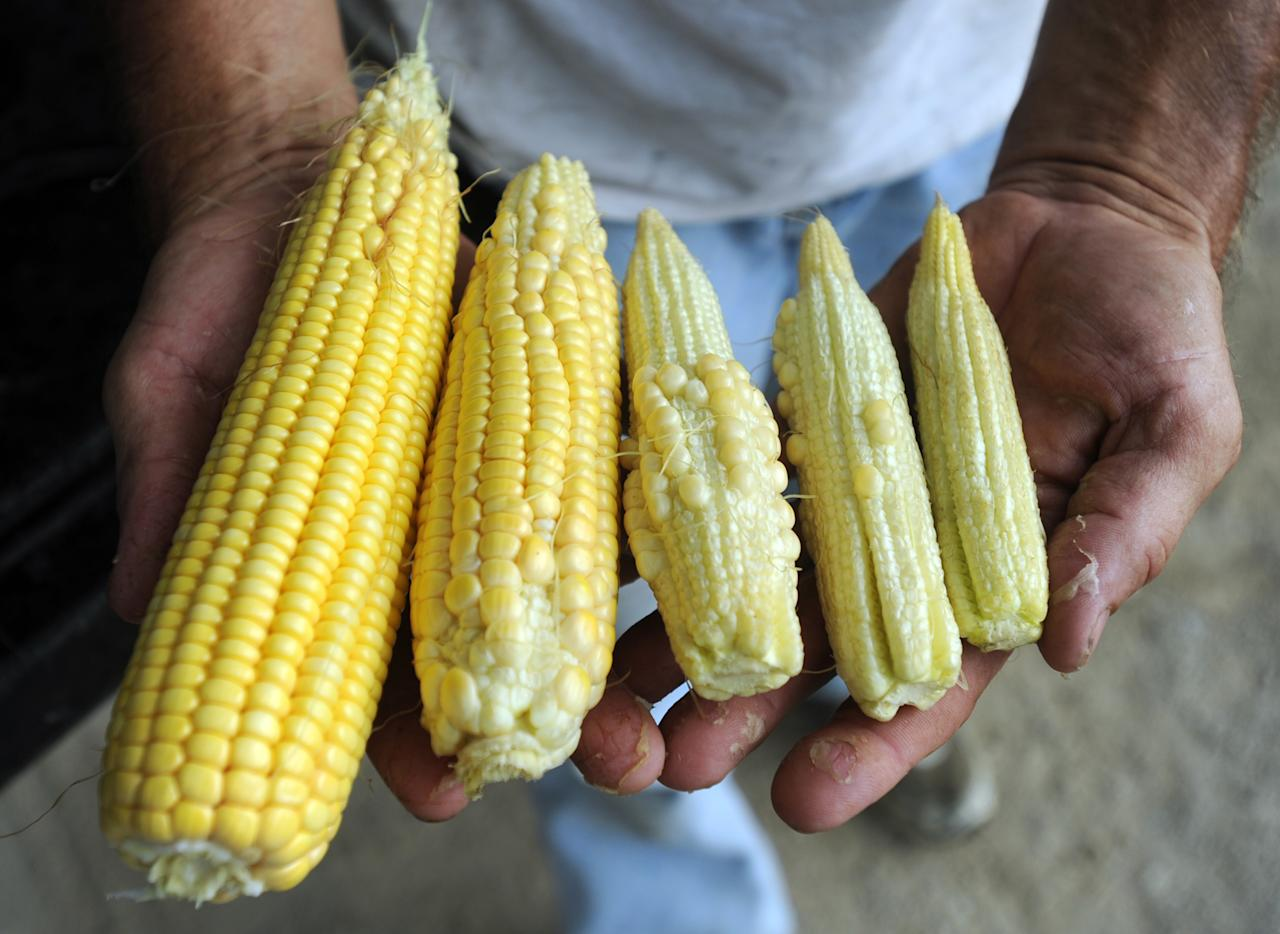 """Farmer Joe Fischer holds ears of corn showing the variety of kernal development Thursday, July 12, 2012, at Fischer Farms Inc. in Owensboro, Ky. Normally the silks would already be brown, Fischer said. """"There is no pollen left because the silks were delayed. . . because it has been too hot and dry,"""" Fischer said. All five Owensboro-area counties have been designated primary disaster areas because of drought. (AP Photo/The Messenger-Inquirer, John Dunham)"""