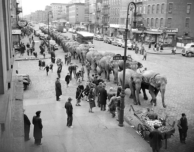 <p>Elephants from the Ringling Brothers and Barnum and Bailey Circus plod along Second Avenue at 106th Street in New York, April 2, 1948, after arriving by train for their annual appearance at Madison Square Garden. (AP Photo/Harry Harris) </p>