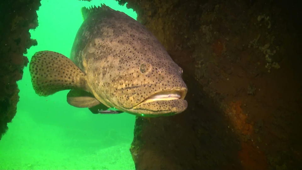 In this undated photo provided by Florida Fish and Wildlife Conservation Commission is a goliath grouper. Florida is lifting its three-decade ban on catching and killing goliath groupers after wildlife officials argued their numbers have rebounded. The Florida Fish and Wildlife Conservation Commission approved on Wednesday, Oct. 6, 2021, a proposal to allow recreational harvest of 200 goliaths per year from March to May. (Florida Fish and Wildlife Conservation Commission via AP)