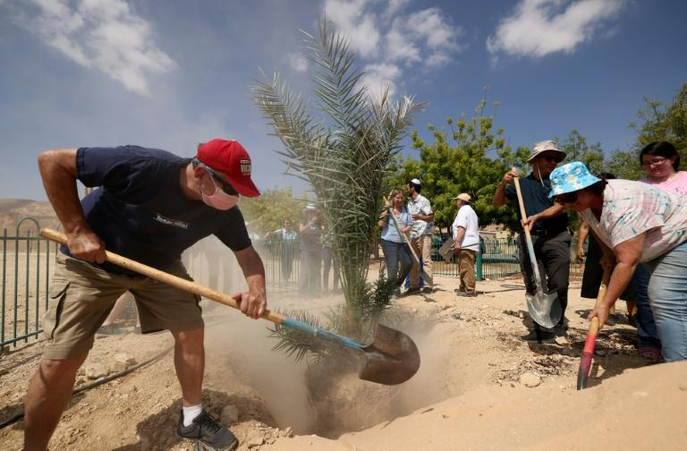 Kibbutz workers transplant 'Judith', a female palm germinated from 2,000-year-old seeds, in Kibbutz Ketura in southern Israel (AFP/Emmanuel DUNAND)