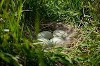 The female eider releases the down from her breast and lines her nest with it to insulate it during incubation