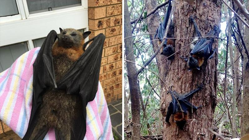 Volunteers rescue a dehydrated bat and (right) a group of exhausted bats cling to a tree. Source: Help Save the Wildlife and Bushlands in Campbelltown