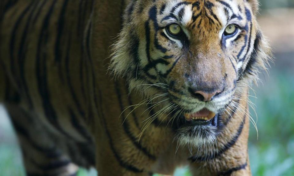 <p>Only found on the Malay peninsula and the southernmost tip of Thailand, fewer than 350 Malayn tigers remain in the wild. (Photo: WWF) </p>