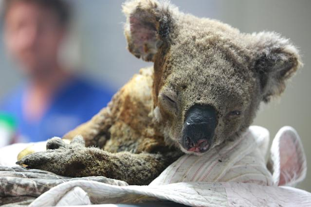 Ein verletzter Koala Ende November im Port Macquarie Koala Hospital (Bild: Tao Shelan/China News Service/VCG via Getty Images)