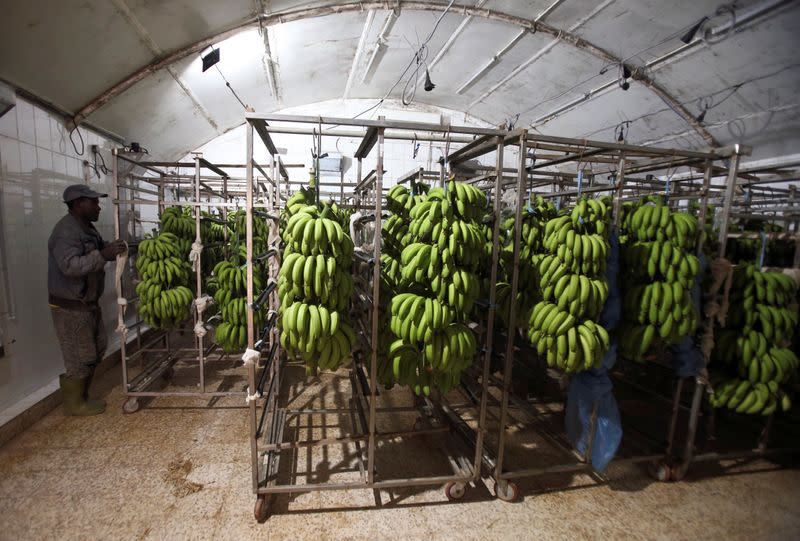 Worker pushes bananas at a packing line in Mostefa Mazouzi's banana farm in Sidi Fredj