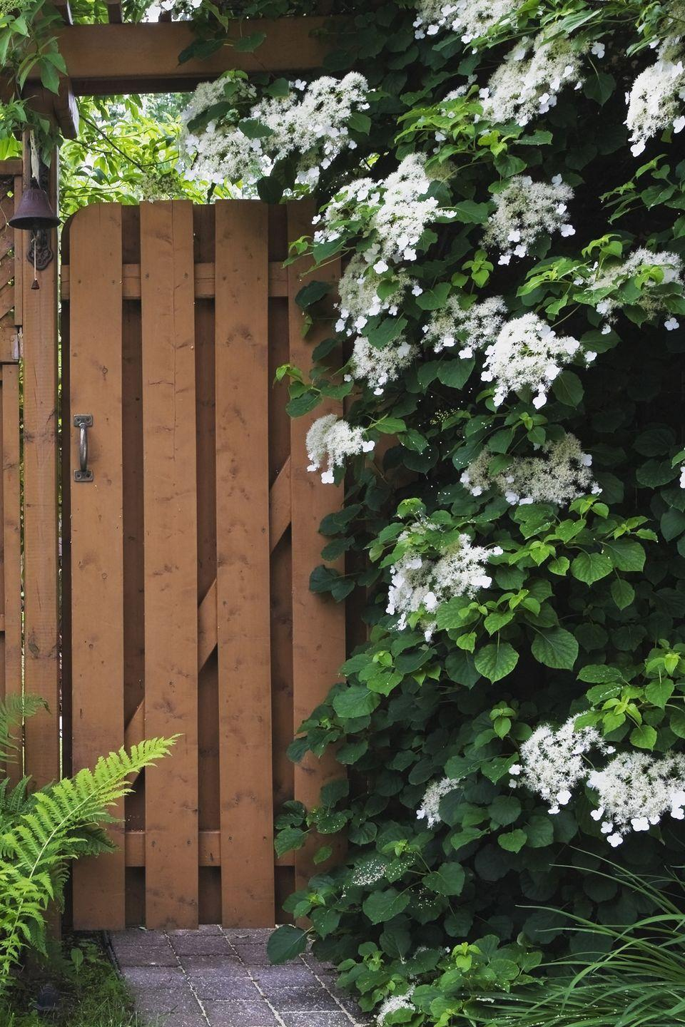 """<p>This shade-lover boasts creamy white flowers all summer long. Its vines are very heavy, so it needs something sturdy to climb or lean against. It's super-slow-growing, so be patient as it can take years to establish.</p><p><a class=""""link rapid-noclick-resp"""" href=""""https://go.redirectingat.com?id=74968X1596630&url=https%3A%2F%2Fwww.naturehills.com%2Fclimbing-hydrangea&sref=https%3A%2F%2Fwww.countryliving.com%2Fgardening%2Fgarden-ideas%2Fadvice%2Fg1456%2Ffast-growing-vines%2F"""" rel=""""nofollow noopener"""" target=""""_blank"""" data-ylk=""""slk:SHOP CLIMBING HYDRANGEAS"""">SHOP CLIMBING HYDRANGEAS</a></p>"""