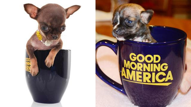 "Who do you think is tinier -- Beyonce or Milly? Watch the clash of the (tiny) titans on ""GMA"" Saturday on see how the pups measure up in these photos."