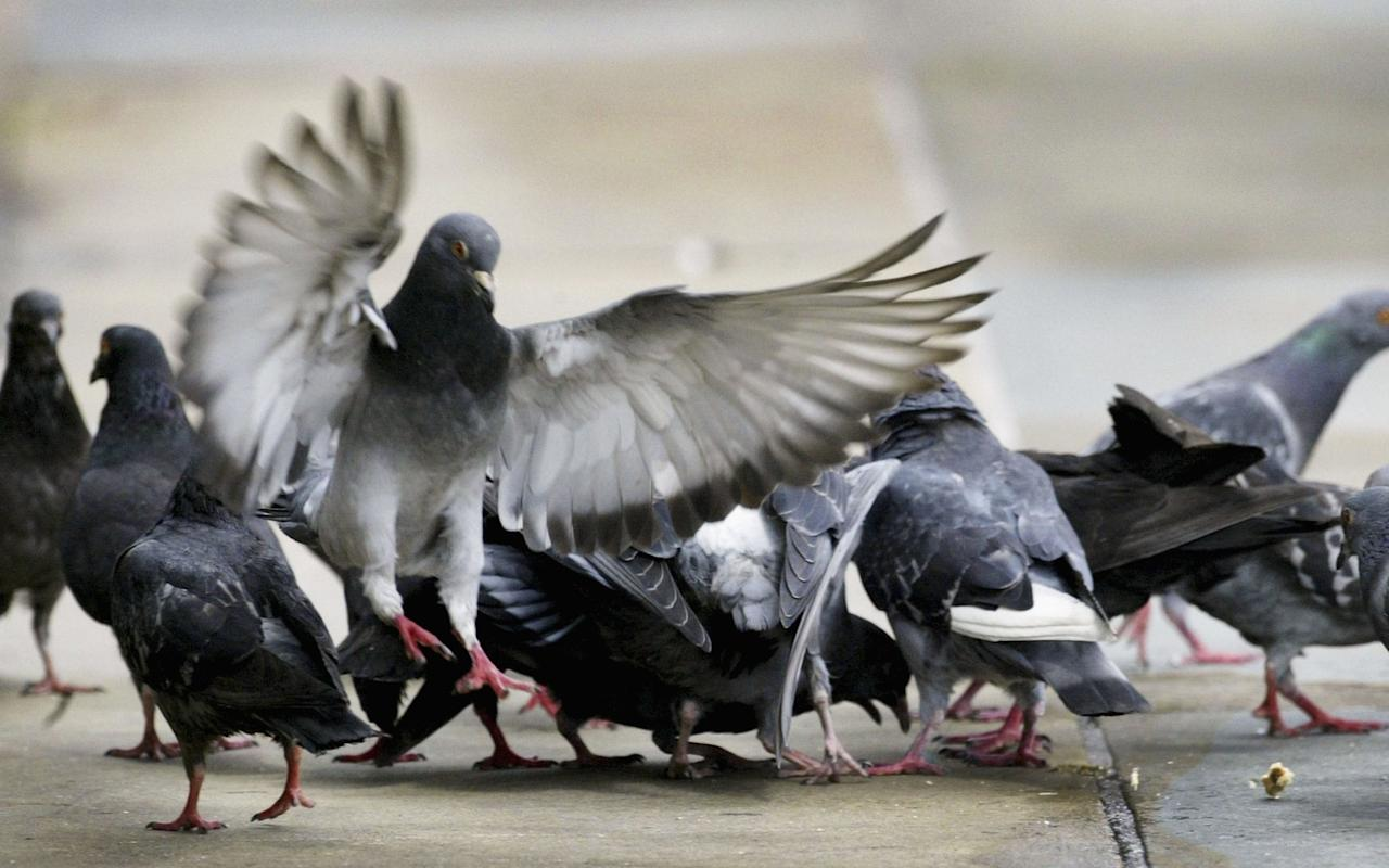 """Thousands of Parisians have united to defend pigeons' rights following plans to bring in birds of prey to tackle the feathered """"pests"""". Like many big cities, France's City of Lights is home to a plethora of pigeons, which sully its streets and roofs with droppings and whose population is a headache to regulate. So Remy Féraud, mayor of the trendy 10th arrondissement, expected a warm response to his decision to draft in two hawks and three falcons to scare off the omnipresent birds from the area. On his website, the mayor said the pigeons posed a """"real health risk for local residents"""", as they potentially carry diseases dangerous to man such as bird flu. The cost of repairing social housing damaged by their corrosive droppings runs into €150,000 per year, according to Le Parisien. Pigeon eats Chinese takeaway Credit: HANNAH MCKAY/Reuters """"We have tried classic methods, pigeon spikes, lofts with sterilisers, but these have proved inefficient. So we decided to try new methods,"""" a spokesman for the town hall told 20 Minutes. However, the plan appalled pigeon lovers at the Ambassade des pigeons (Pigeon Embassy) and the bird protection charity Ligue pour la protection des oiseaux. They have launched a petition to protect the birds, which yesterday (Mon) had been signed by almost 20,000 Parisians. The birds of prey are due to start work for the council starting October 7. """"This technique, which is without danger for man, achieves optimal and lasting results,"""" said Merlyn, the falconry in charge of the operation and which also scares pigeons from the French Open tennis tournament west of Paris. However pigeon defenders disagree, saying the operation, which costs €12 800 for ten days, is """"expensive for the taxpayer"""" and only produces """"temporary"""" results. Sparrows will die of stressAmbassade des pigeons """"Scared off for a while, the pigeons will very quickly return after taking refuge in a neighbouring arrondissement, except, naturally, the few who are killed (by the birds of """