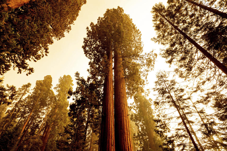 Sequoia trees stand in Lost Grove along Generals Highway as the KNP Complex Fire burns about 15 miles away on Friday, Sept. 17, 2021, in Sequoia National Park, Calif. (AP Photo/Noah Berger)