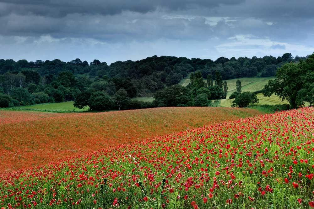 These are the glorious red poppy fields in full bloom showing Britain's countryside at its best. They were taken by photographer Alan Ranger, 43, at Blackstone Farm nature reserve in Bewdley, Worcestershire. Alan managed to capture the amazing shots during a one-week window when the poppies appear in full bloom. The poppies at Blackstone are all wild, none have been planted. Poppy seeds can lie dormant in then soil for many years (Caters)