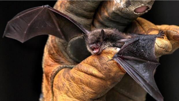 Most of the literature on bat boxes is based on research in the United States and Europe, where the climate is very different. (Peter Thomson/Associated Press - image credit)