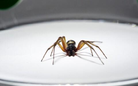 False Widow spiders, which can bite painfully, have been seen predominantly in the South - Credit: Alamy