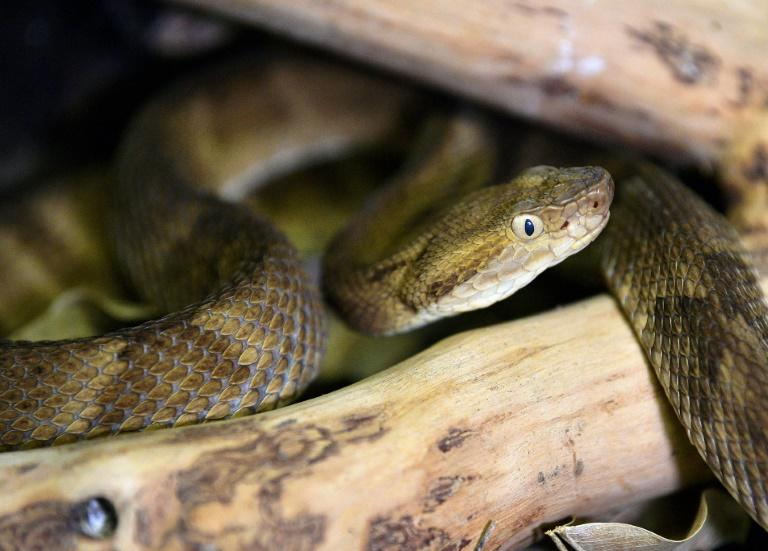 A highly venomous Golden Lancehead snake is among hundreds kept in captivity at the Butantan Institute in Brazil, where official figures show more than 100 people died from snake bites in 2018
