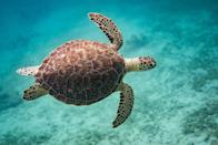 <p><strong>Hawksbill Sea Turtle - </strong>Remember Crush from <em>Finding Nemo</em>? Habitat loss and human interactions have decreased its numbers by 80% in recent generations. </p>