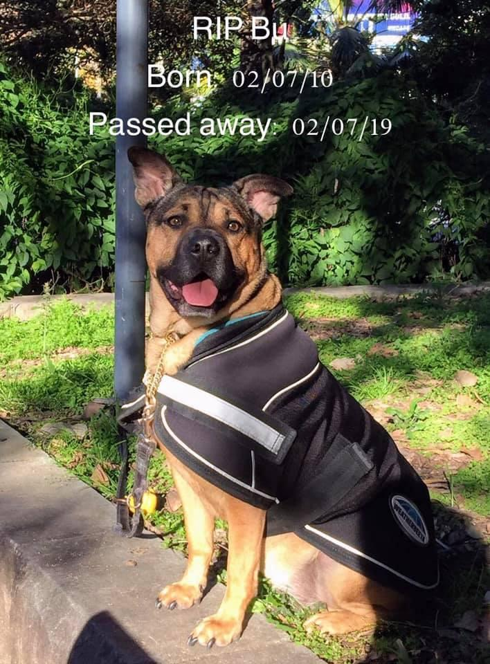 A picture of Bu, a staffy-shar pei, who died after contracting leptospirosis during a walk.