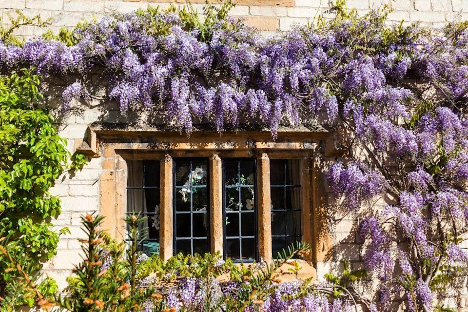 <p>This spectacular bloomer produces cascades of fragrant, lilac-hued flowers, treating homeowners and viewers to a feast for the eyes and nose. </p><p>Gardners advise proceeding with caution when it comes to planting wisteria: It's known to be a fast, aggressive grower that can grow to be quite heavy, so be sure to plant near a sturdy structure on which it can climb. Also, prune in late winter, removing at least half of the previous year's growth to ensure abundant flowering. </p><p><strong>When it blooms: </strong>Spring</p><p><strong>Where to plant:</strong> Full sun</p><p><strong>USDA Hardiness Zones:</strong> 4-9</p>