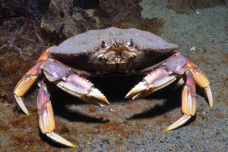 A close up of a Dungeness crab