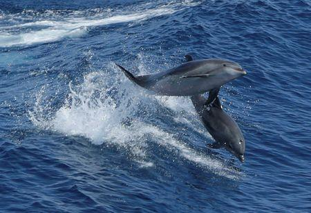 A pair of dolphins leap in the wake of Royal Caribbean cruise line ship 'Grandeur of the Seas' July 18, 2013 in the Atlantic Ocean between Bermuda and the United States main land.  REUTERS/Gary Cameron