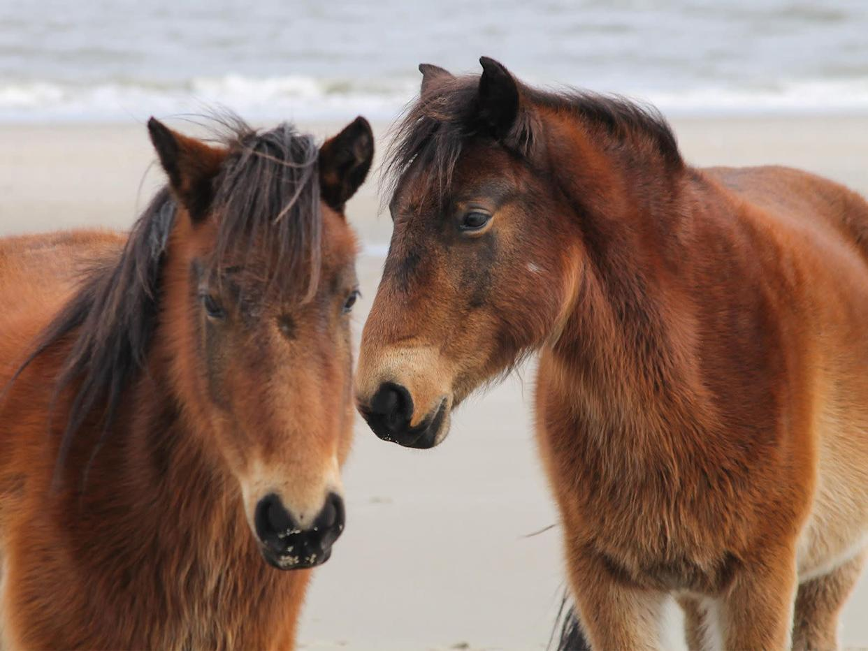 Two horses on a February day on the beach in Corolla, North Carolina. (Photo: whit_photos via Getty Images)