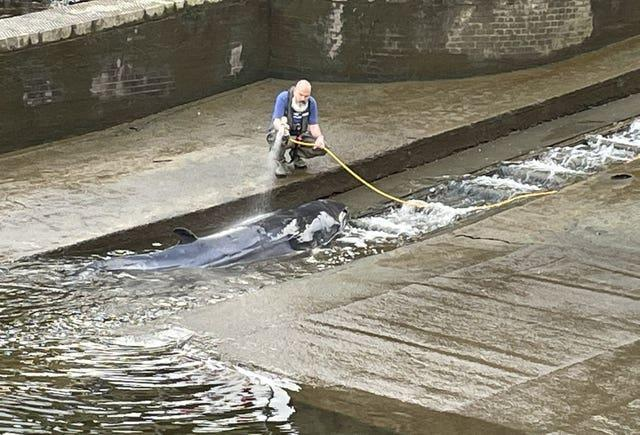 Whale stranded at Richmond Lock and Weir