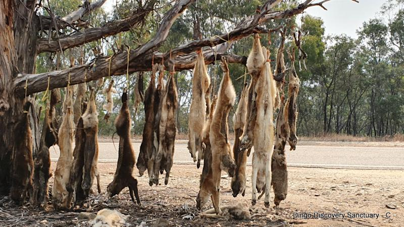 Dead dingoes hanging from a tree by the roadside in the Omeo region.